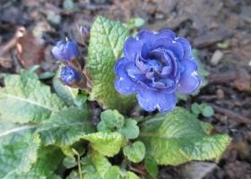 'Belarina Delft Blue'