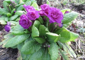 'Bon Accord Purple'