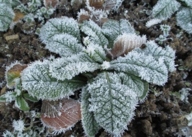 Frosted 'Bon Accord Purple'