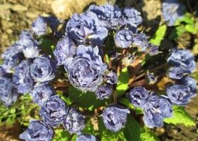 Primula 'Blue Sapphire'