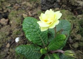 Primula 'Fife Yellow'