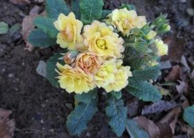 Primula 'Sunshine Suzie'
