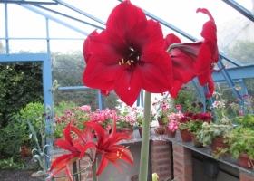Amayllis varieties in flower (2)