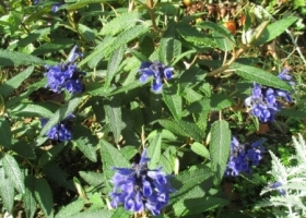 Salvia corrugata