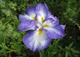 Iris ensata (2)