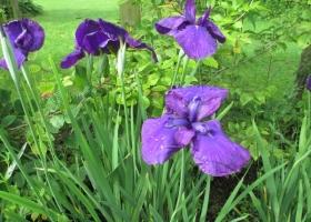 Iris ensata 'Purple Ease'