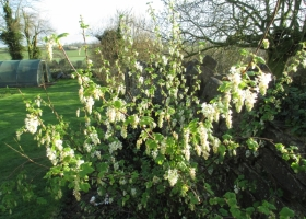 Ribes 'White Icicle'