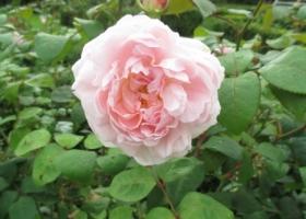 Rosa 'Eglantyne