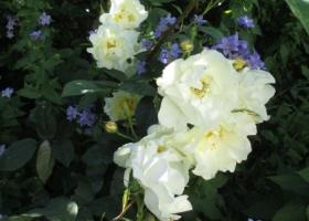 Rosa 'Windrush'