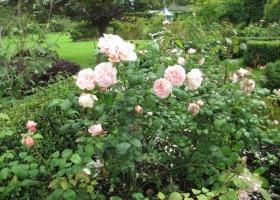 Rose parterre