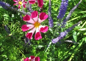 Seashell Cosmos and Blue Veronica Spicta