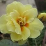 Primula 'Fife Yellow1