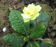 Primula 'Fife Yellow2